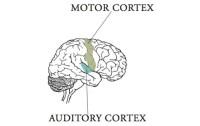 Auditory:Motor areas