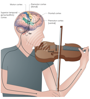 Zatorre, Chen, & Penhune (2007). When the brain plays music: auditory-motor interactions in music perception and production.  Nature Reviews Neuroscience 8: 547-558.