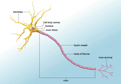 Neuron, from www.visiblebody.com